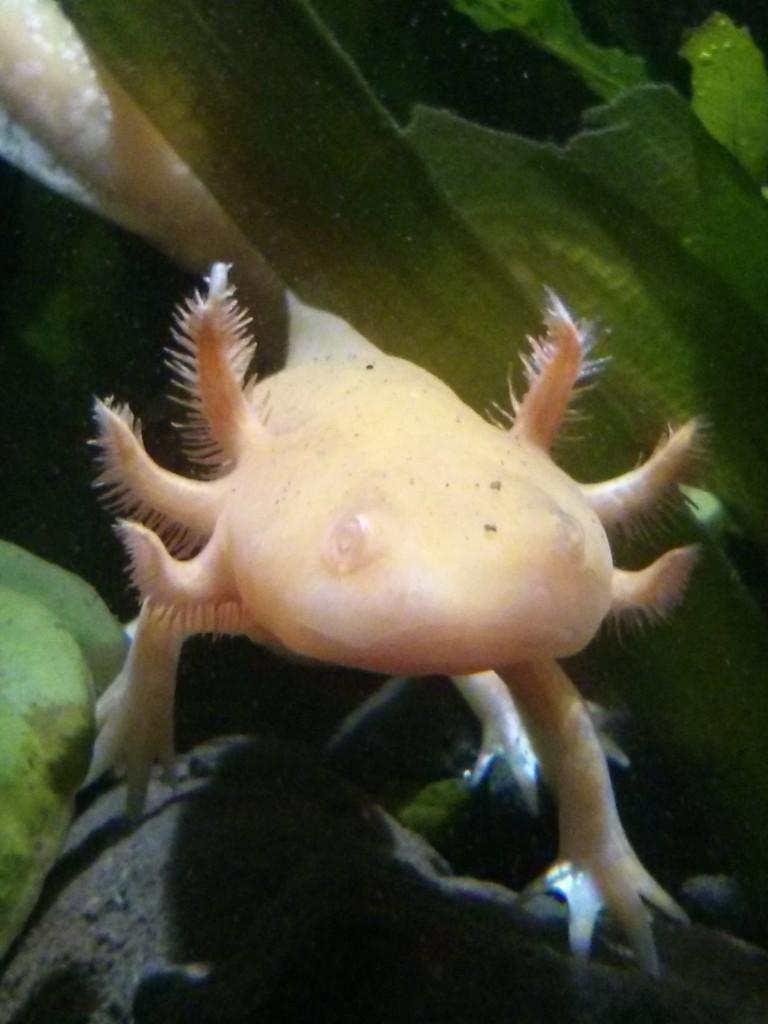 Axolotl at Deep Sea World