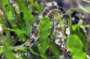 Big bellied seahorse in weed