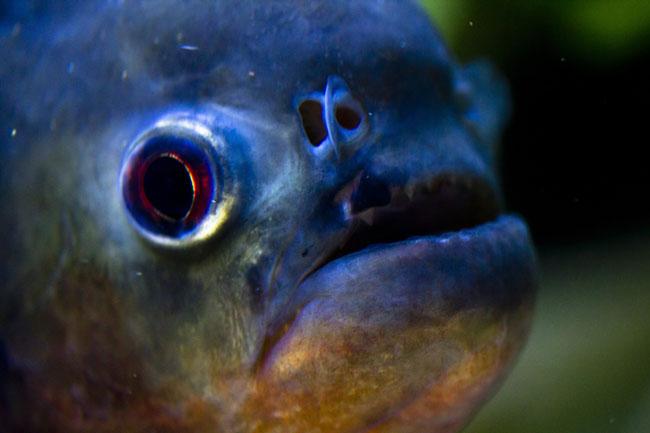 Piranha Fish Close Up