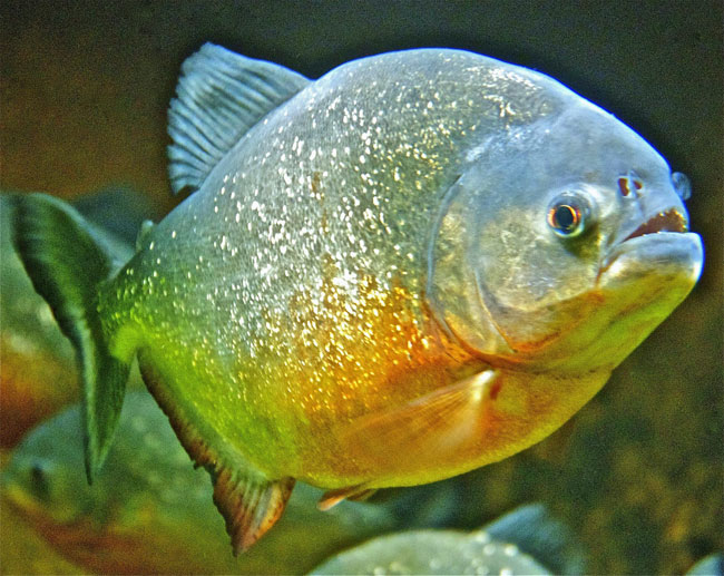 Piranha at Deep Sea World