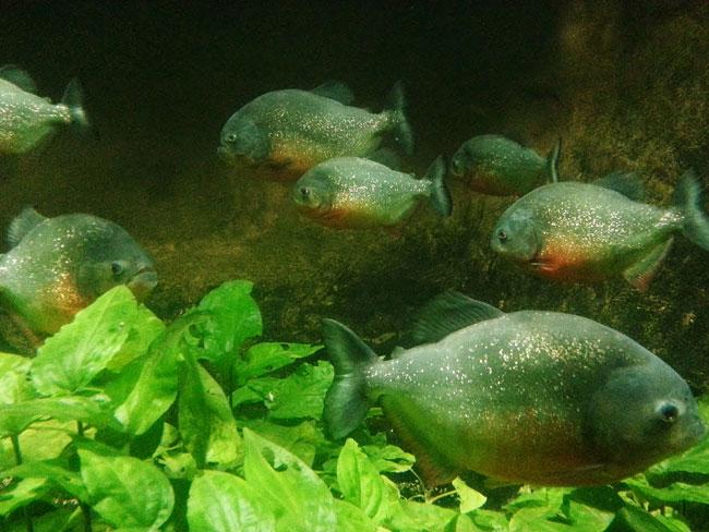 Piranhas at Deep Sea World