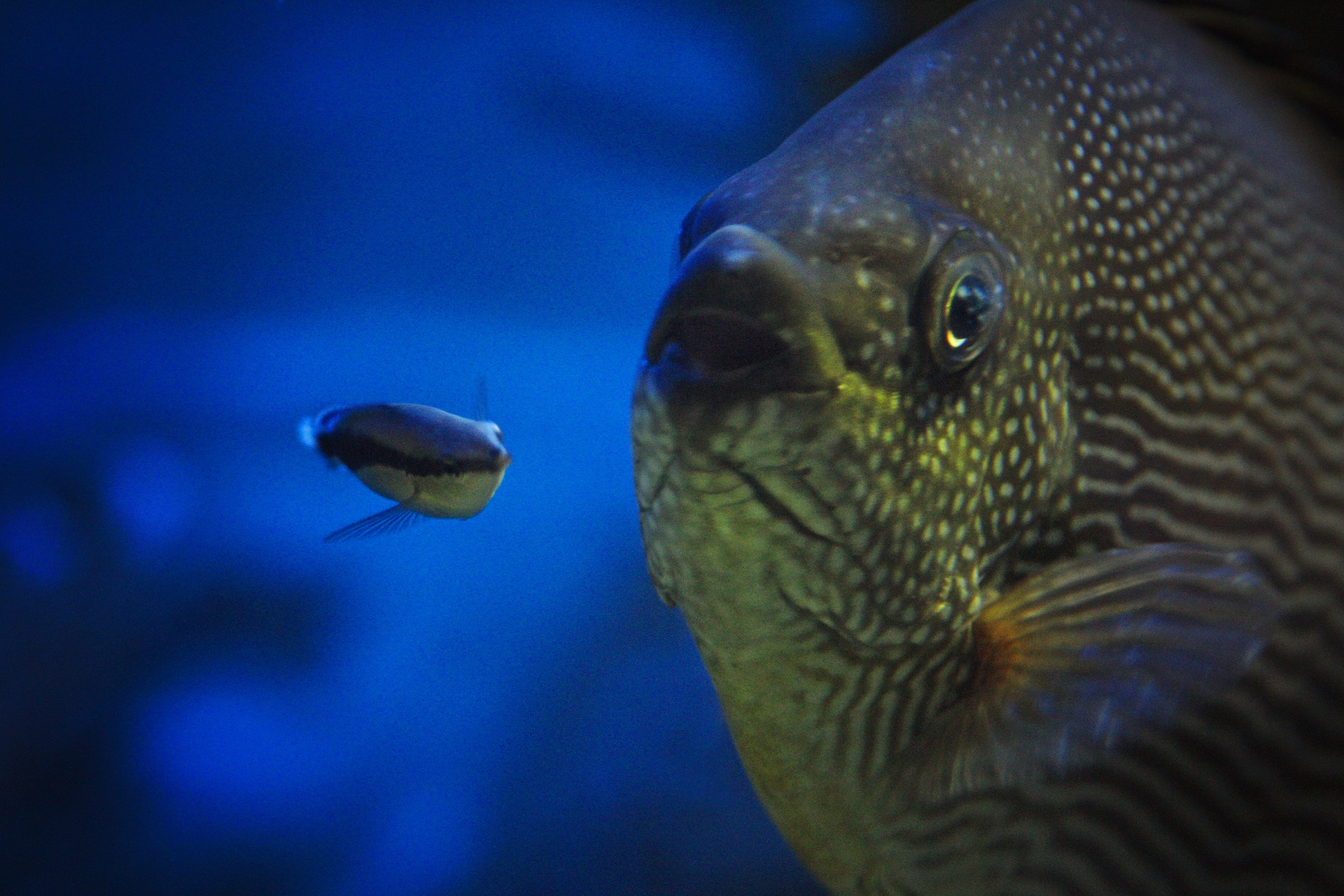 Cleaner wrasse and fishy client at Deep Sea World PIC Krissi Ludgren