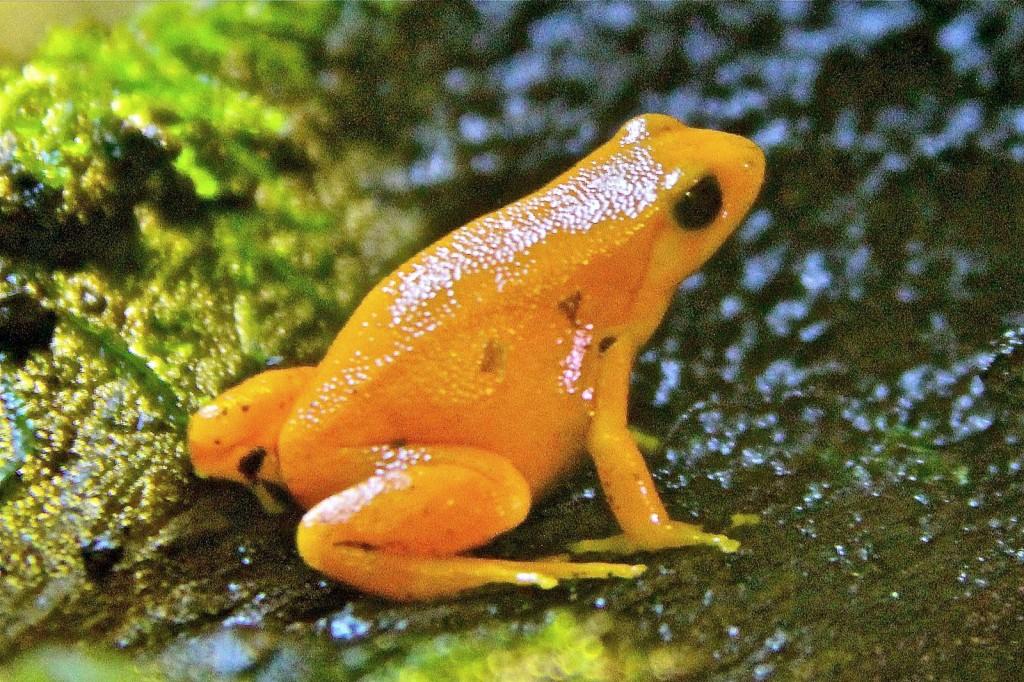 Golden Mantella frog at Deep Sea World