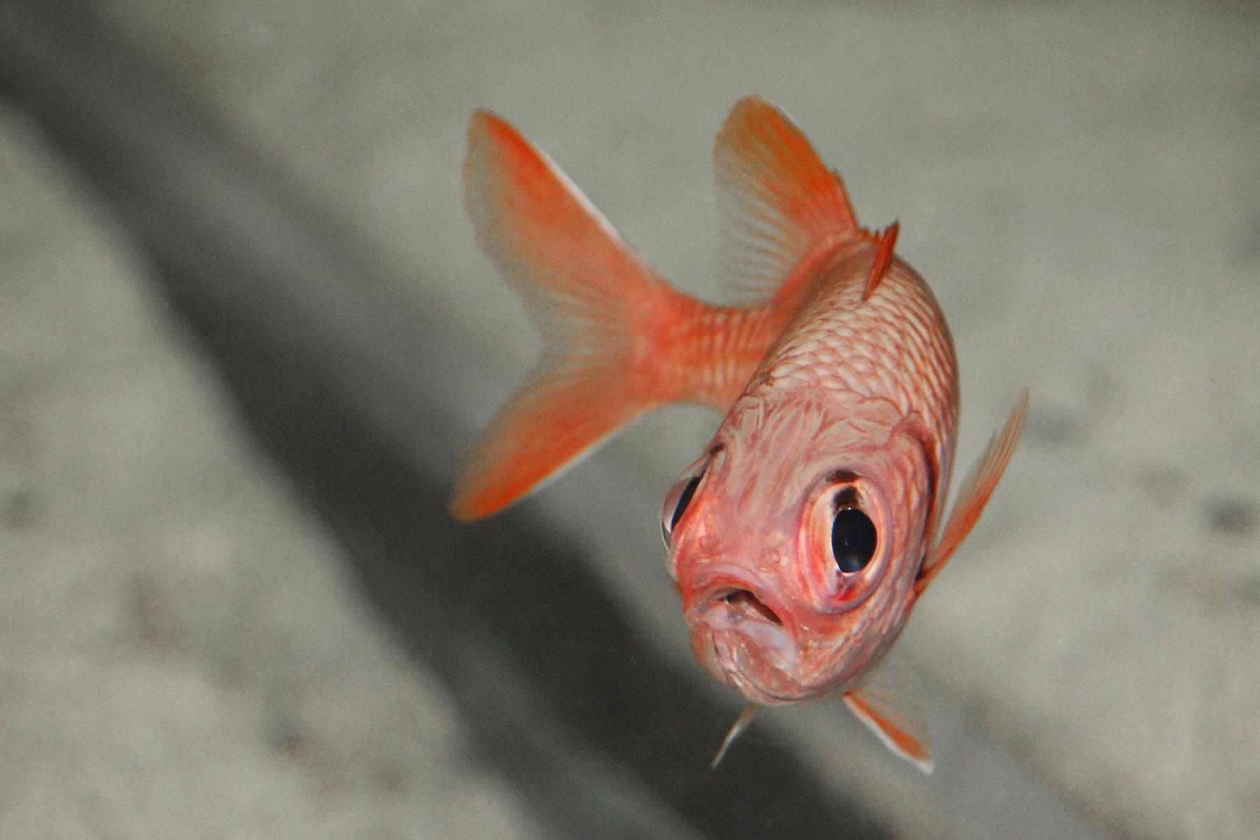 Squirrel fish at Deep Sea World PIC Krissi Ludgren