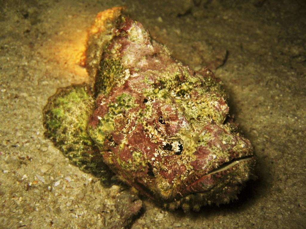 Stonefish head on