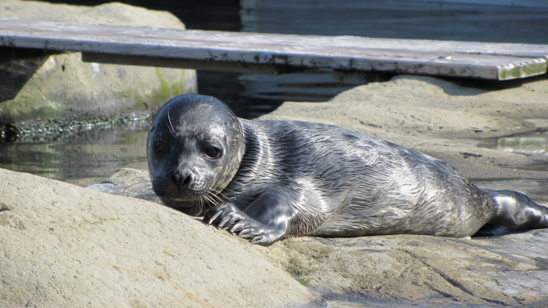 Benji the seal pup at Tynemouth's Blue Reef Aquarium (1500x843)