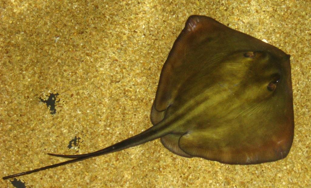 Common stingray