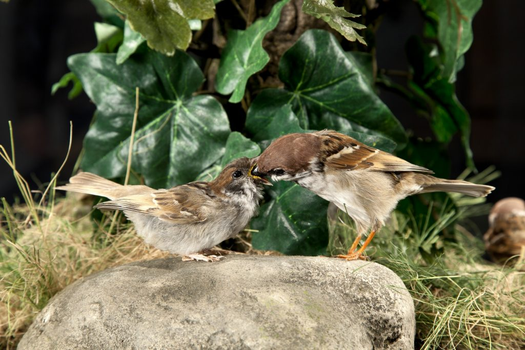 Tree sparrows (1800x1200)