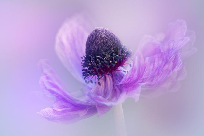 anemone-de-caen-2